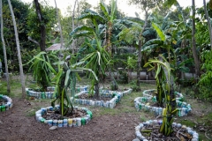 Dragonfruit Trees