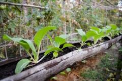 Pechay (Chinese cabbage)